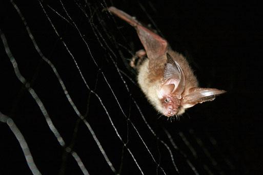 Ein Braunes Langohr im Netz. Die Fäden sind so dünn, dass sie von den Fledermäusen nicht geortet werden können.