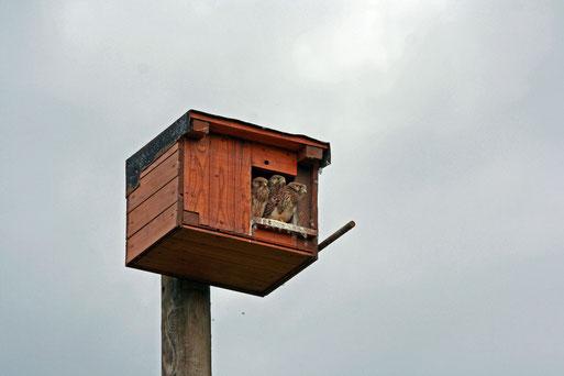 Seit 2008  brütet hier regelmäßig ein Turmfalkenpaar und zog bisher 26 Junge groß