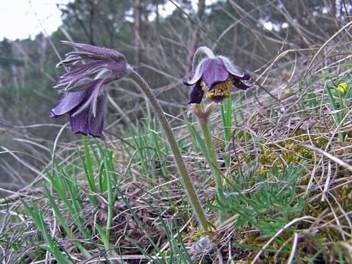 Ab Mitte April blühte an nur noch wenigen Standorten die Wiesenkuhschelle, Pulsatilla pratensis subsp. nigricans. Auch bei uns ist sie sehr selten geworden