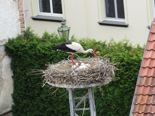 Mitten in der Stadt Schwedt gibt es seit vielen Jahren einen regelmäßig besetzten Horst. 2011 wurden hier vier Junge groß.