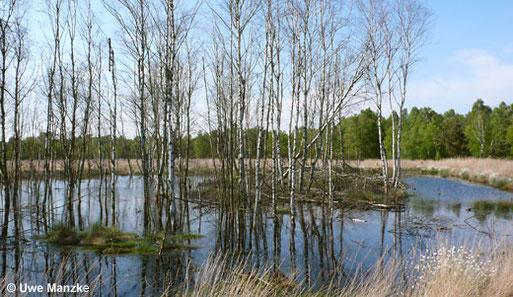 Die Wiedervernässung zeigt erste Erfolge: die Birken sterben ab.
