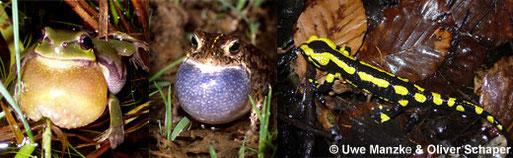 Laubfrosch und Kreuzkröte gaben die ersten Konzerte, auch der Feuersalamander sucht momentan die Fortpflanzungsgewässer auf.