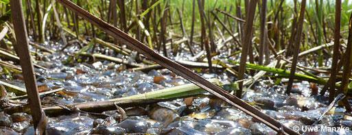 Trockengefallene und verstorbene Kaulquappen - Wetterextreme und zunehmende Trockenheit treten immer häufiger auf.