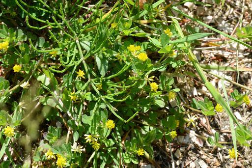 Faden-Klee (Trifolium dubium), Winsen, 4. Juni 2015
