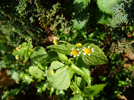 Knopfkraut (Galinsoga parviflora) Winsen, 04.11.2015