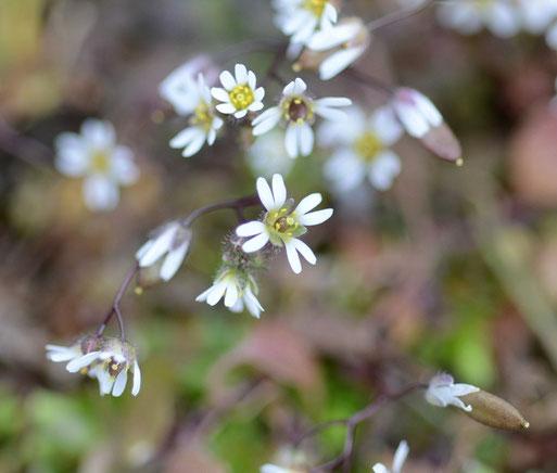 Hungerblümchen, 05.04.15, Winsen. Blüten mit 4 tief gespaltenen Blütenblättern