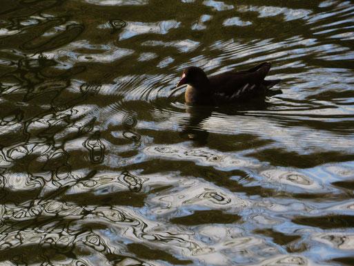 Teichralle im Alsdorfer Tierpark (Foto: Wolfgang Voigt)