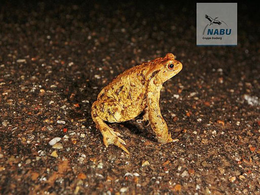 Bild: Wilfried Keller// Erdkröte auf Wanderschaft