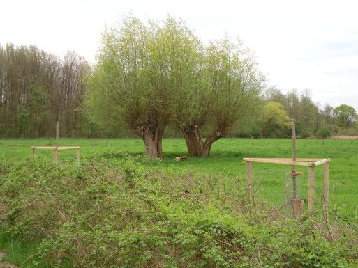 Abb.1: So muss es sein! Alte gepflegte Kopfweiden mit Nachpflanzung im Vordergrund (Krefeld/Langen Dyk)
