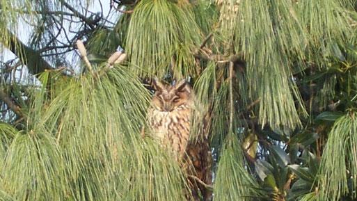 Mülhausener Waldohreule in ihrem Schlafbaum beim Sonnenbaden