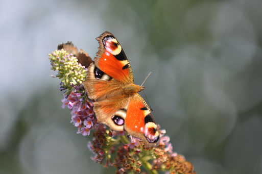 Dieser wunderschöne Schmetterling wird mal aus den Raupen