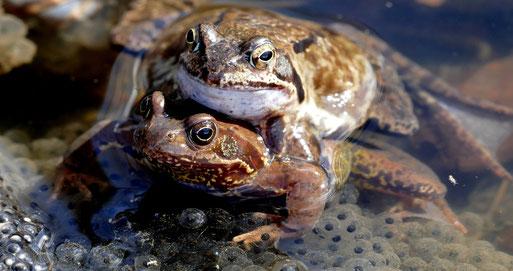 Foto: Franz Miertz, Grasfroschpaar beim Ablaichen