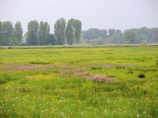 Horschbruch, Nasswiesen mit Kuckucks-Lichtnelke bei Oedt