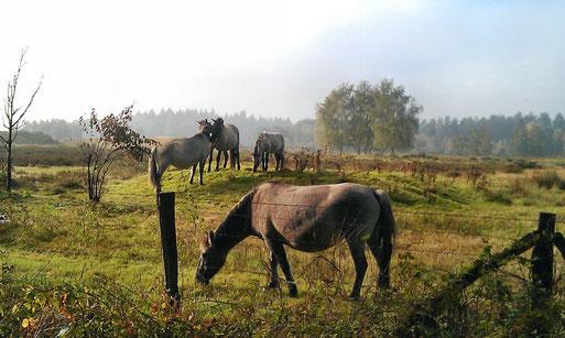 Wildpferde in der Wankumer Heide, Bild: NABU Grefrath