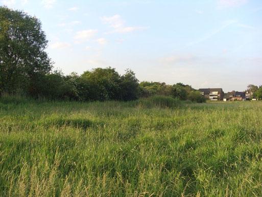 Lebensraum des Sumpfrohrsängers bei Oedt