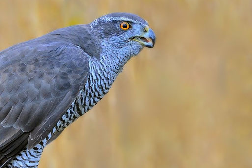 Taubengroßer singvogel