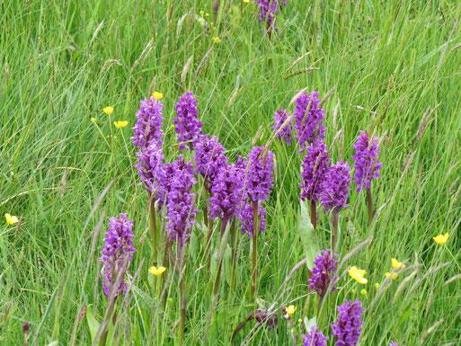 In diesem Jahr wurden schon über 40.000 Orchideen (Breitblättriges Knabenkraut) auf der Halbinsel gezählt und die Zählung ist noch nicht abgeschlossen.