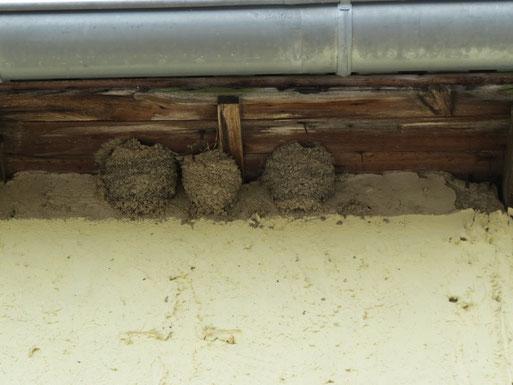 An den Gebäuden des Spargelhofes befinden sich mehr als 50 Nester. Bei Trockenheit werden die Vögel mit einer feuchtgehaltenen Lehmpfütze unterstützt.