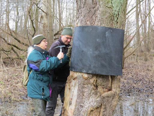 Fast geschafft. So sollen ca. 10 Bäume mit Manschetten ausgestattet werden, um Prädatoren den Aufstieg zu erschweren.