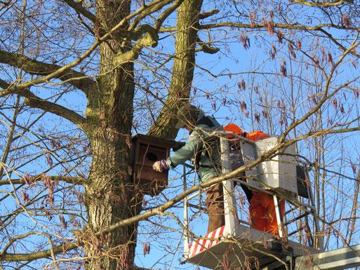 Mitstreiter des NABU und der FG- Ornithologie Neubrandenburgs kontollieren mit Unterstützung der Stadt NB (Bereitstellung einer Hebebühne) Schellentenkästen.