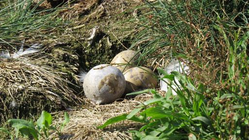 Bilder vor der Reinigung der Inseln, mit Eiern von Flußseeschwalbe und Lachmöwe.