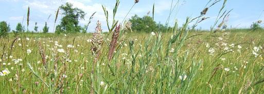 25 bis 50 verschiedene Pflanzenarten (Gräser, Kräuter und Blumen) kommen auf einer artenreichen, oberbergischen Magerwiese vor. (Foto: M. Gerhard)