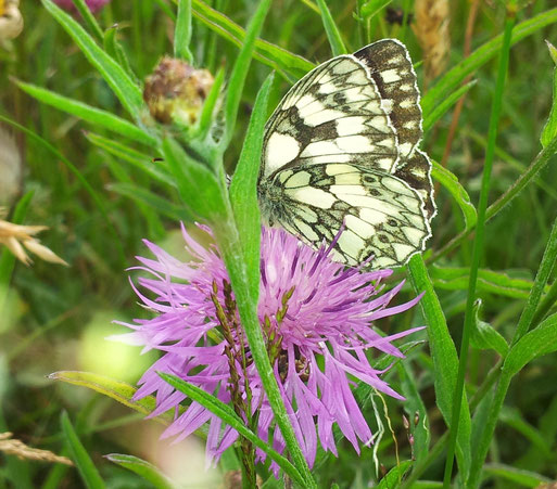 Zwei Arten, denen unser Projekt nützt: die Flockenblume und der Schachbrettfalter. (Foto: M. Gerhard)