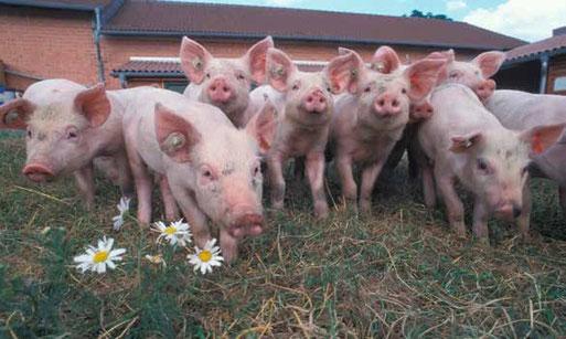 Flächengebundene Schweinehaltung Quelle: www.oekolandbau.de Copyright BLE/ Foto: Dominic Menzler