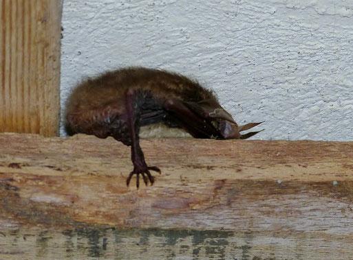 Eine Langohrfledermaus wurde hier im Winterschlaf gefunden
