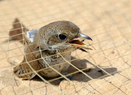 Neuntöter-Weibchen im Fangnetz in Ägypten | Aufnahme: NABU