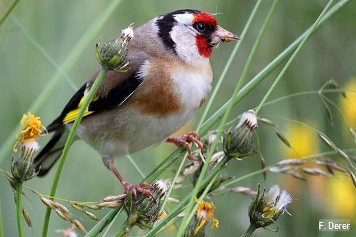 Der Stieglitz ist Vogel des Jahres 2016