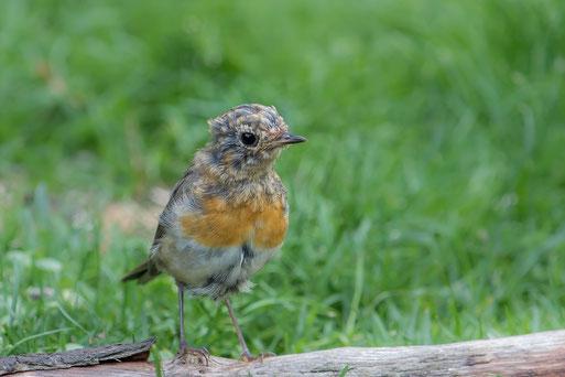 Rotkehlchen Jungvogel, Foto: Gaby Schröder