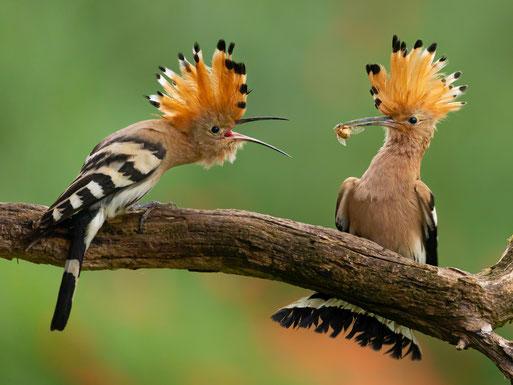 Der Waldkauz - Vogel des Jahres 2017. Foto: NABU M.Bosch