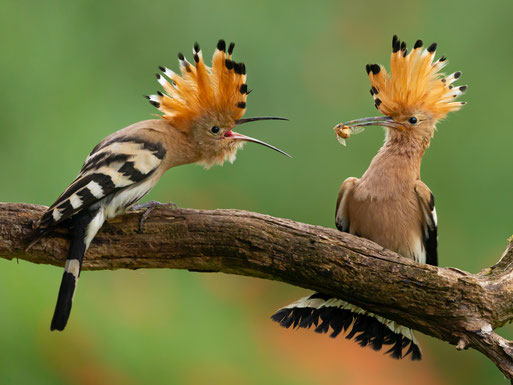 Vogel des Jahres 2020. Foto: Manfred Delpho