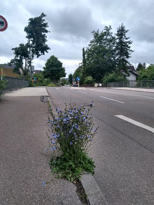 Wegwarte nutzt jede Ritze Foto: NABU/I.Bücker