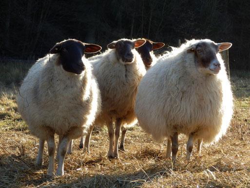 NABU-Schafe im Ölferbachtal