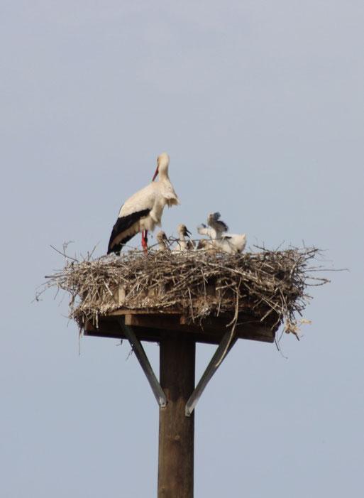 22.05.2016 Altstorch mit 4 Jungtieren im Nest - Foto: Daniela Schwarzer