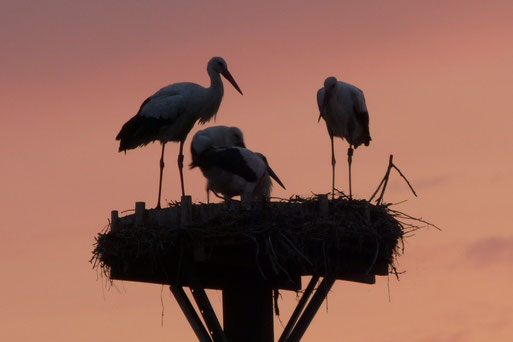 """01.09.13: """"Familie Weißstorch"""" in der Abenddämmerung im Nest - Foto: Björn Behrendt"""