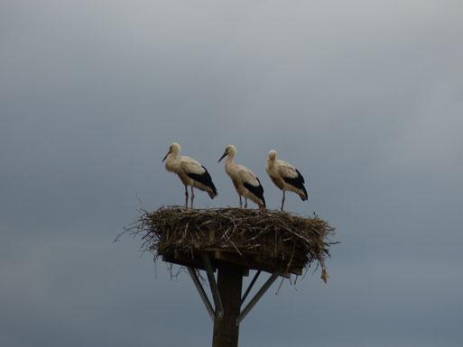 04.07.2016: Die drei Jungstörche auf dem Nest - Foto: Stefan Wagner