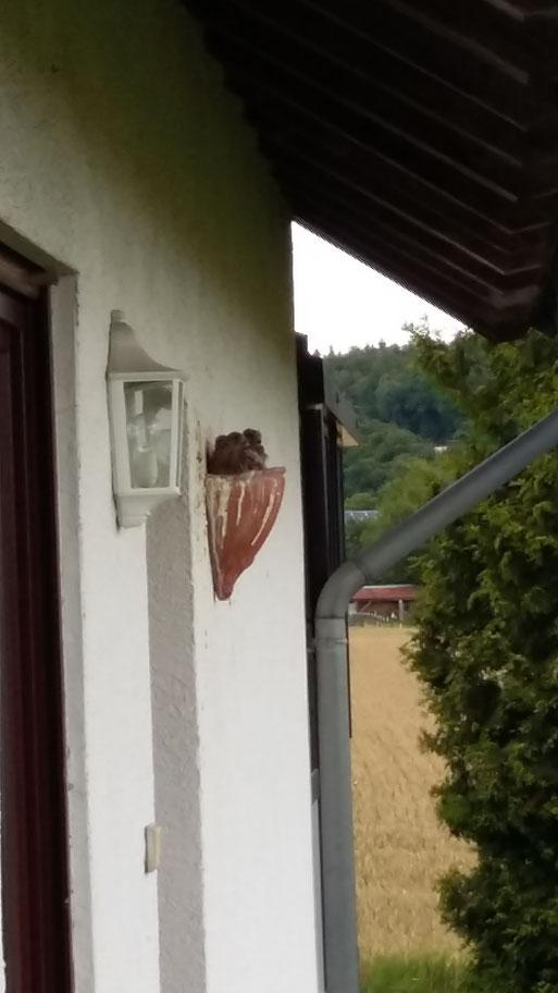 Ein besonderer Brutplatz!!! Direkt neben der Eingangstür eines Wohnhauses hat ein Turmfalkenpaar in einem Blumentopf 3 Jungvögel groß gezogen! Was es nicht alles gibt!