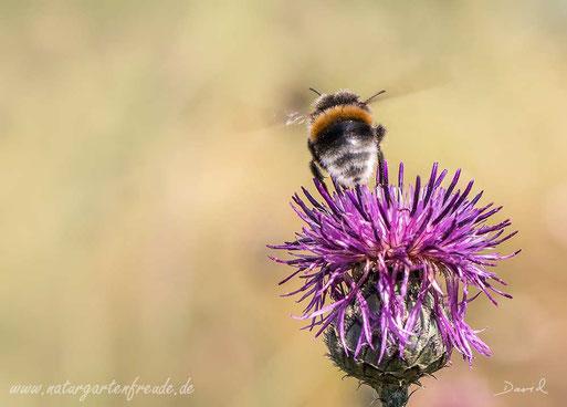 Hummel Flug Flockenblume