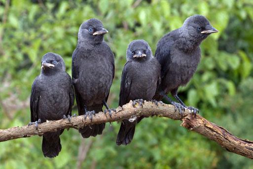 Vogel des Jahres 2012 - die Dohle (Foto: NABU/M.Vollborn)