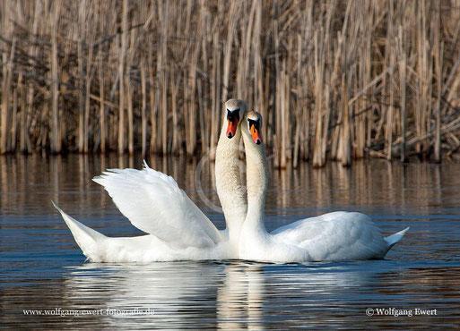 Höckerschwan, Schwanentanz. Wasservögel