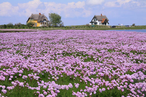 Grasnelke in voller Blüte