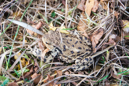 Naturbeobachtungen am Rande der Wiesenmahd: Auch diese Erdkröte wurde entdeckt. Foto: Ludo Van den Bogaert
