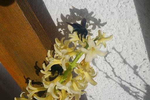 Auch aus dem fernen Gera wurde eine Bienen-Beobachtung gemeldet. Andreas Zieger hat hier am 4. März 2017 gleich mehrere in seinem Garten entdeckt.