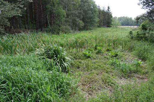 Ganz trockengelegter § 30-Biotop: Röhricht- und Seggentümpel in Grandorf; Foto: Frye / NABU 2011
