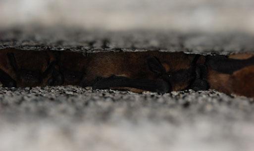 Voll besetzt - Fledermäuse im Winterquartier - hier in Spalten künstlicher Verstecke in einem Bergwerksstollen bei Damme, der mit dem NABU speziell hergerichtet wurde; Fotos: Frye / NABU 2010