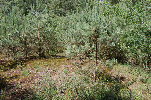 Seit Jahren trockengelegt - bald Kiefernwald: das ehemalige Schlatt Rubbenpohl in Fladderlohausen, Foto: Frye / NABU 2011