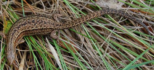Waldeidechse,  trächtiges Weibchen;  helle Flecken verwaschen-undeutlich, auf dem Rücken helle Flecken nicht innerhalb schwarzer Punkte, sondern mehr seitlich daneben;  Foto: L. Frye 2011